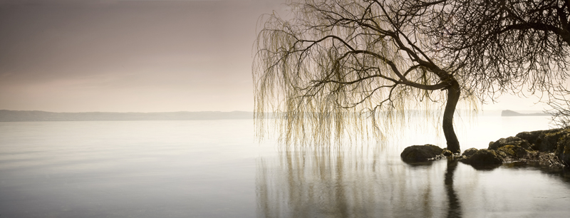 Weeping-willow on Lake Bolsena