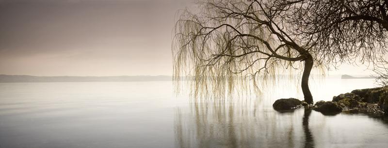 Weeping-willow on Lake Bolsena