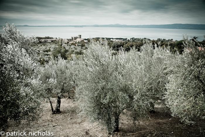 Olive grove Bolsena