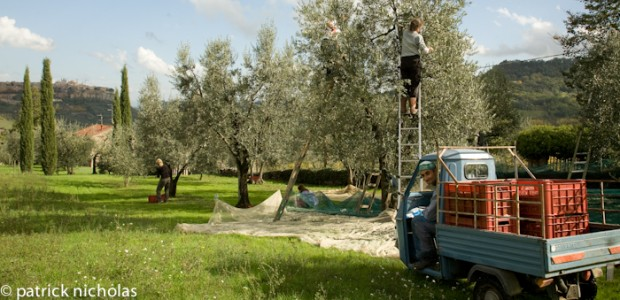 olive picking Orvieto