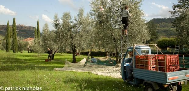 olive picking Orvieto