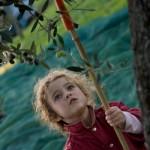 child picks olives