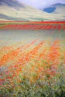 Castelluccio_Norcia.wild_flowers.PatrickNicholas.-0960